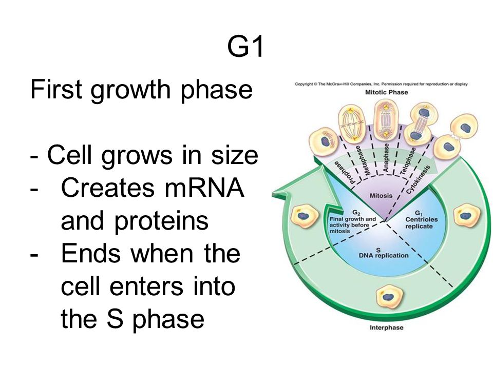 G1 First growth phase - Cell grows in size Creates mRNA and proteins