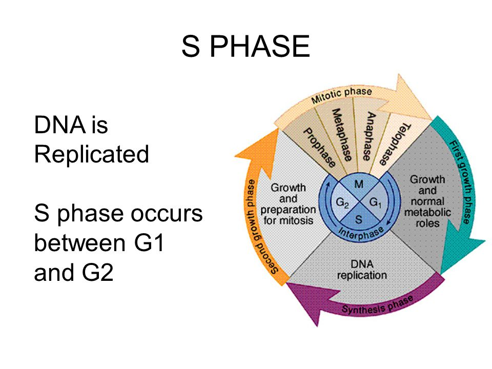S PHASE DNA is Replicated S phase occurs between G1 and G2