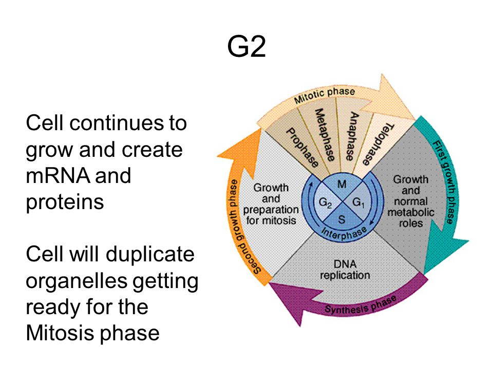 G2 Cell continues to grow and create mRNA and proteins