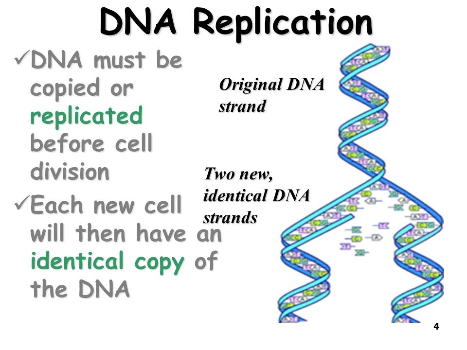 DNA Replication DNA must be copied or replicated before cell division
