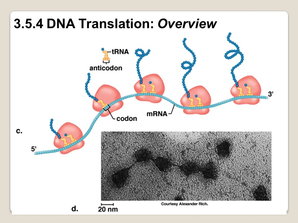 3.5.4 DNA Translation: Overview