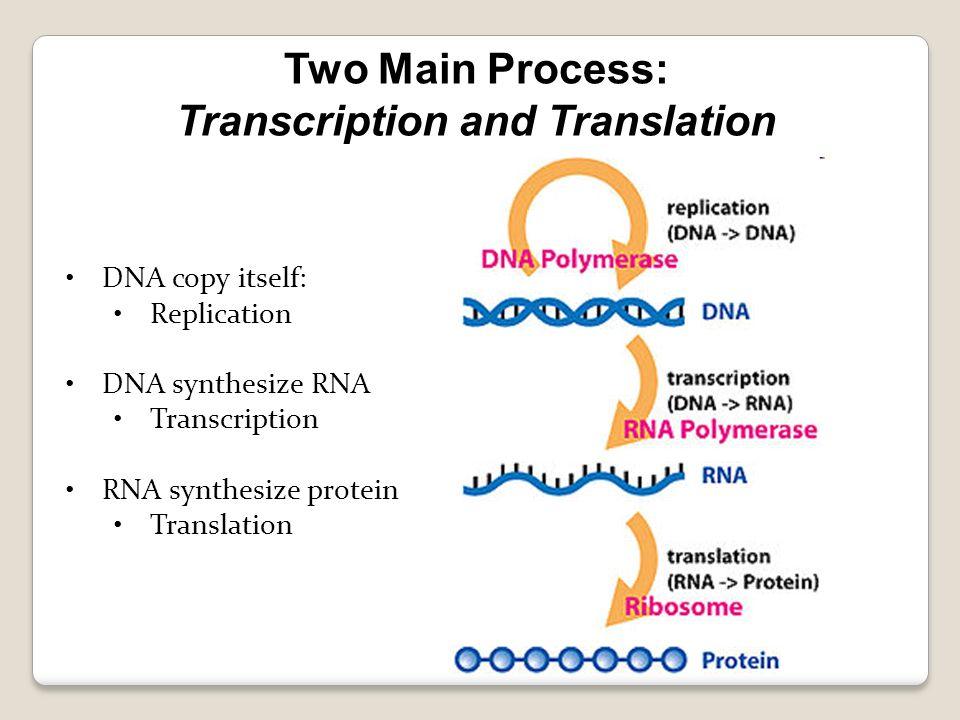 dna molecule and replication worksheet Termolak – Dna Coloring Worksheet