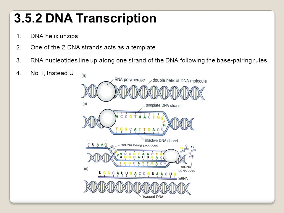 3.5.2 DNA Transcription DNA helix unzips
