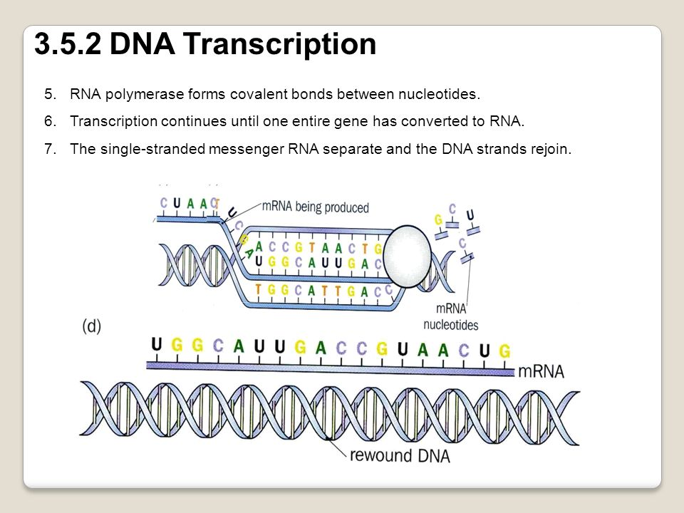 3.5.2 DNA Transcription RNA polymerase forms covalent bonds between nucleotides. Transcription continues until one entire gene has converted to RNA.