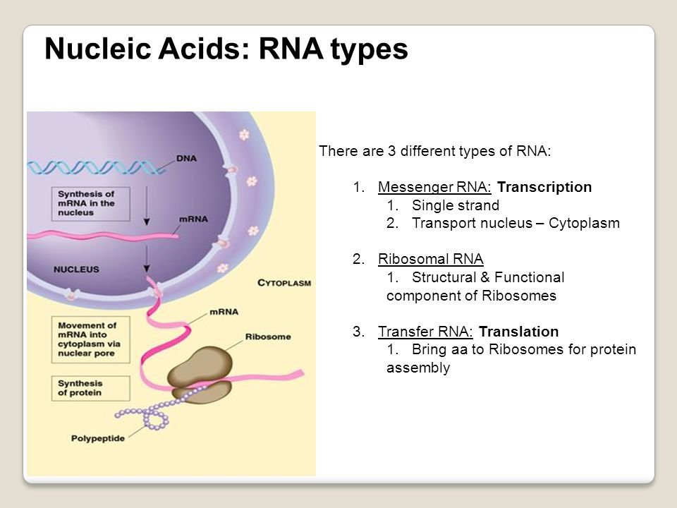 Nucleic Acids: RNA types