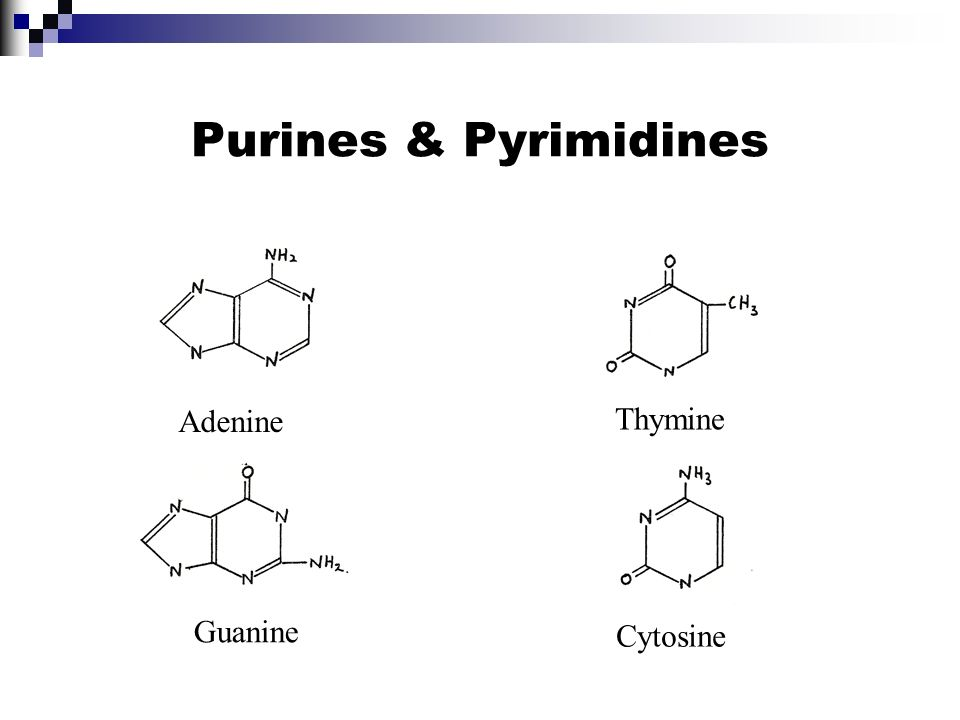 Purines & Pyrimidines Adenine Thymine Guanine Cytosine