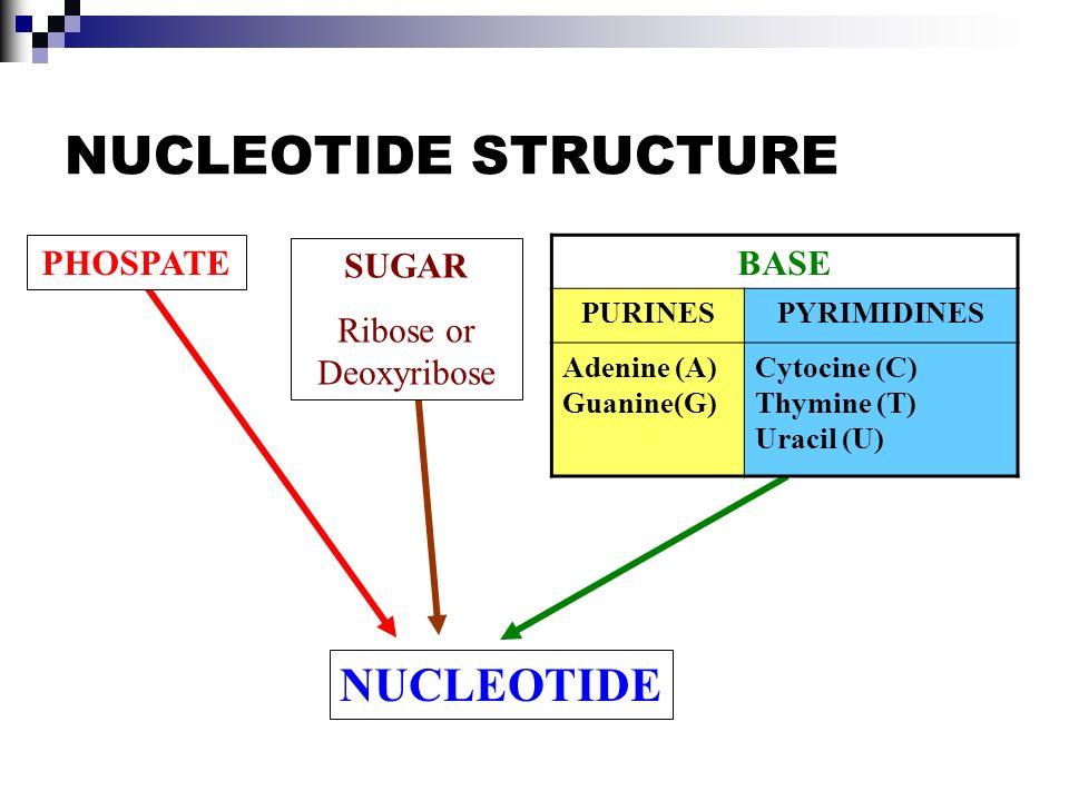 NUCLEOTIDE STRUCTURE NUCLEOTIDE BASE PHOSPATE SUGAR