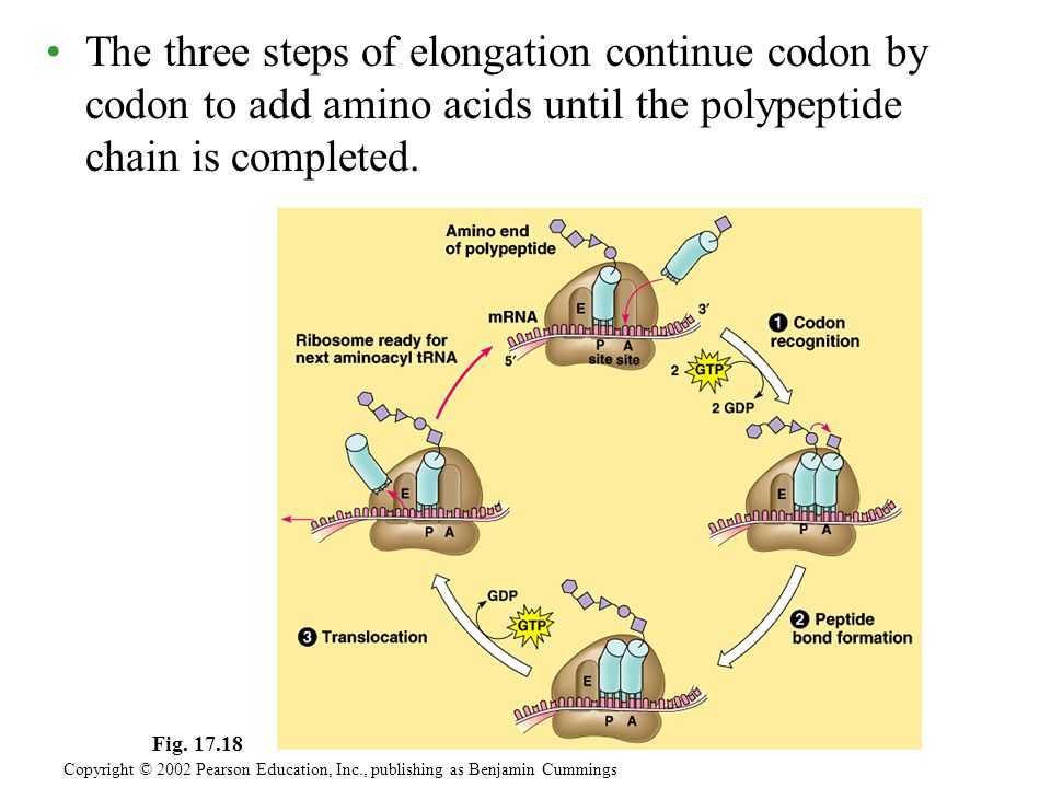 The three steps of elongation continue codon by codon to add amino acids until the polypeptide chain is completed.