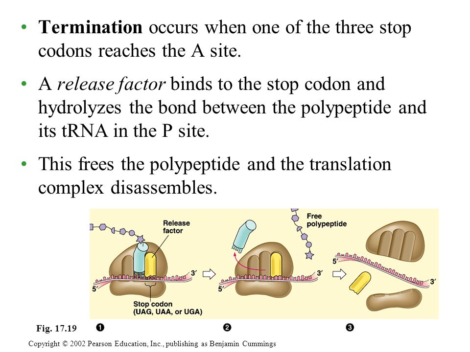 This frees the polypeptide and the translation complex disassembles.