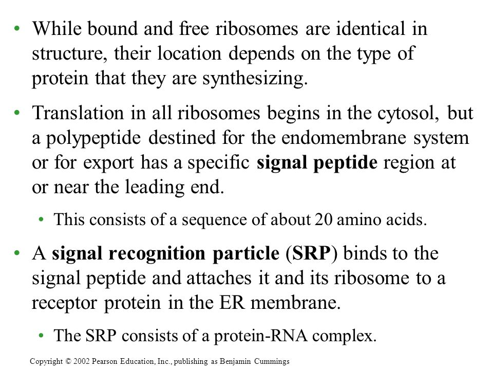 While bound and free ribosomes are identical in structure, their location depends on the type of protein that they are synthesizing.