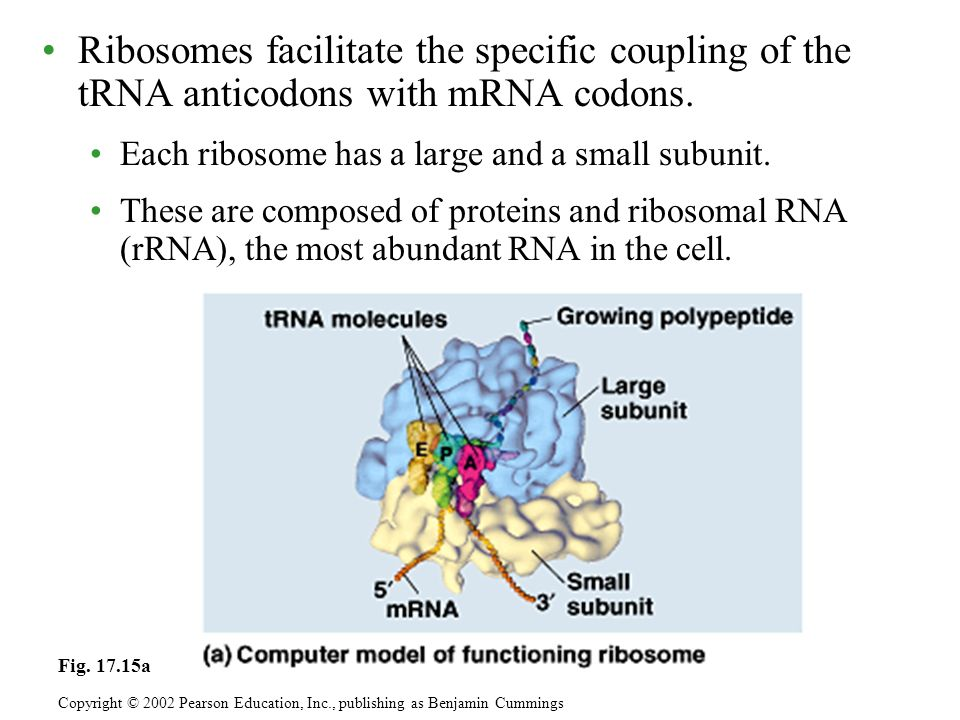 Ribosomes facilitate the specific coupling of the tRNA anticodons with mRNA codons.