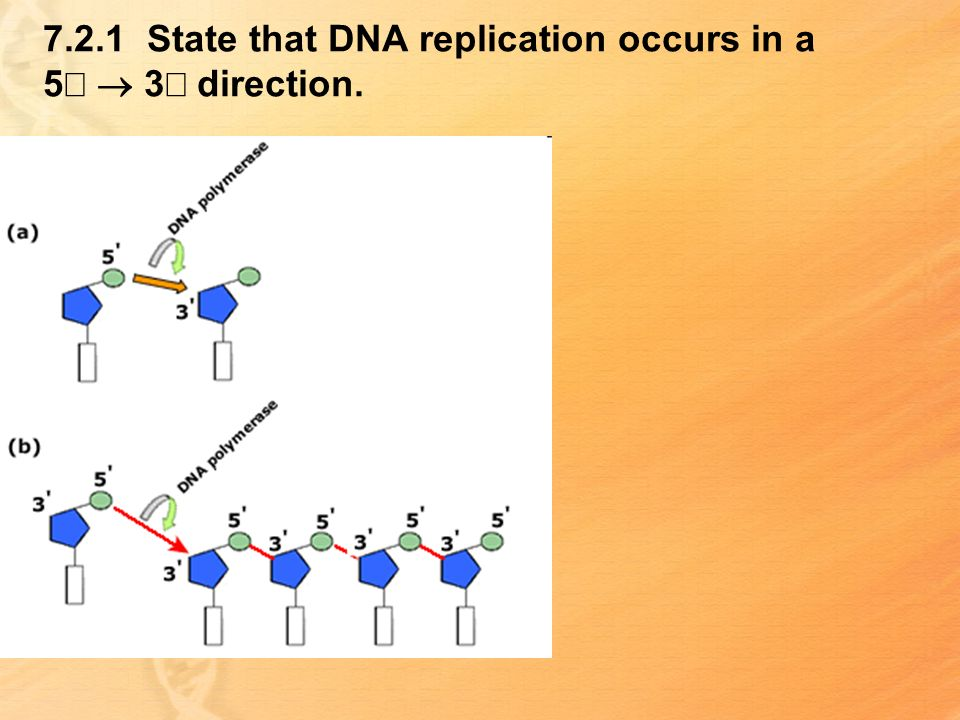 7.2.1 State that DNA replication occurs in a 5¢ ® 3¢ direction.