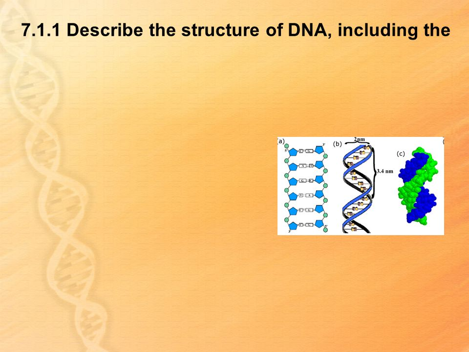7.1.1 Describe the structure of DNA, including the