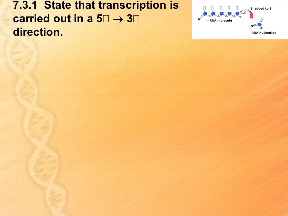 7.3.1 State that transcription is carried out in a 5¢ ® 3¢ direction.