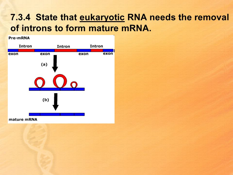 7.3.4 State that eukaryotic RNA needs the removal of introns to form mature mRNA.