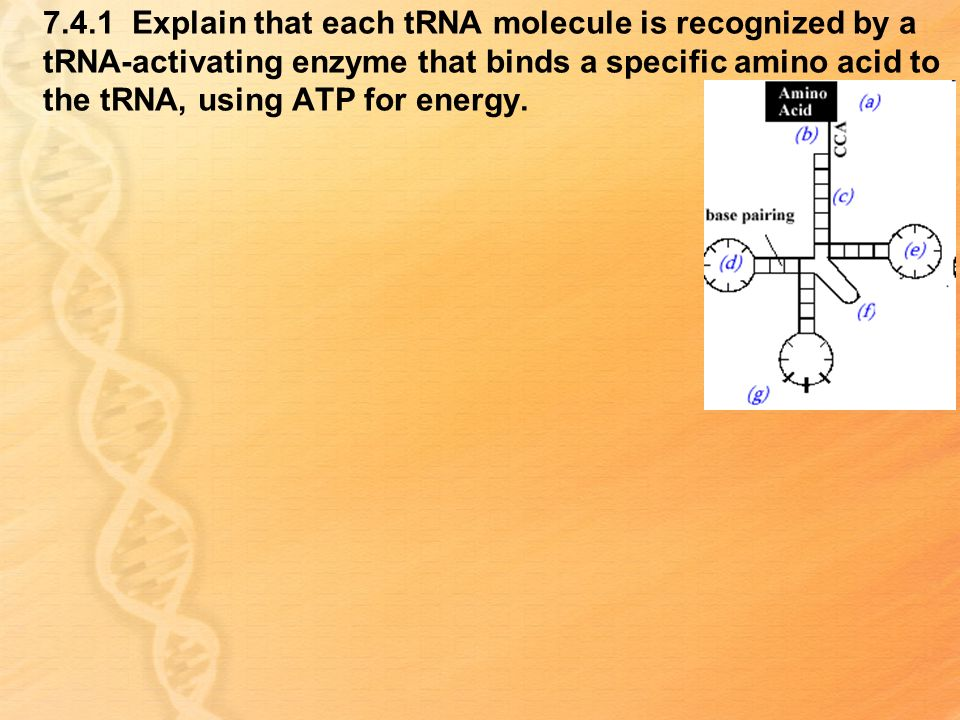 7.4.1 Explain that each tRNA molecule is recognized by a tRNA-activating enzyme that binds a specific amino acid to the tRNA, using ATP for energy.