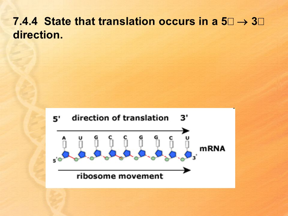 7.4.4 State that translation occurs in a 5¢ ® 3¢ direction.