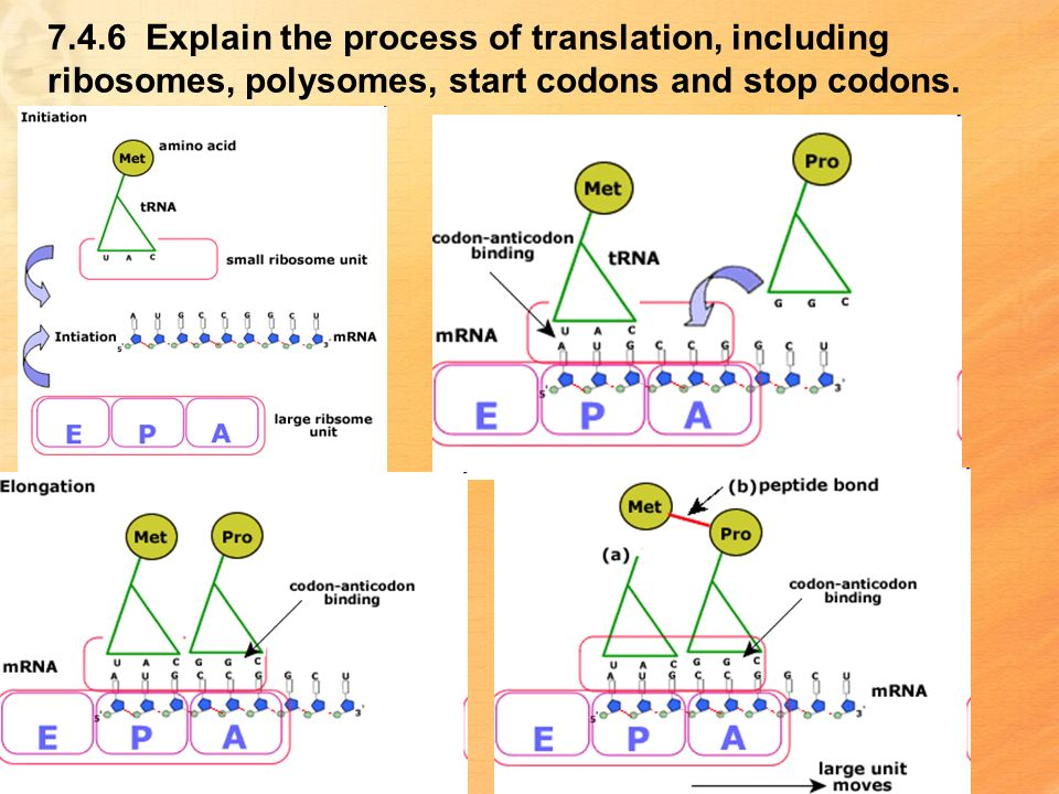 7.4.6 Explain the process of translation, including ribosomes, polysomes, start codons and stop codons.