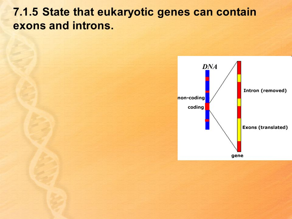 7.1.5 State that eukaryotic genes can contain exons and introns.