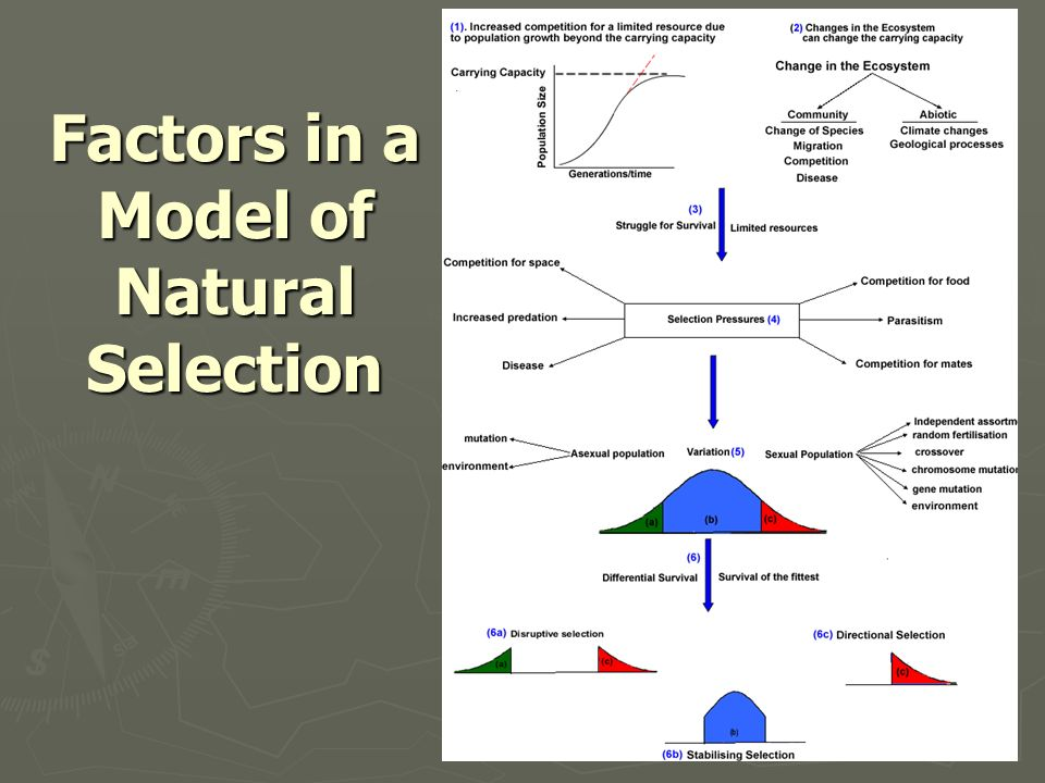 Factors in a Model of Natural Selection