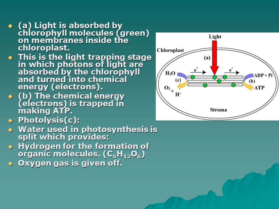 (a) Light is absorbed by chlorophyll molecules (green) on membranes inside the chloroplast.