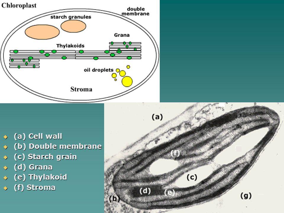 (a) Cell wall (b) Double membrane (c) Starch grain (d) Grana (e) Thylakoid (f) Stroma