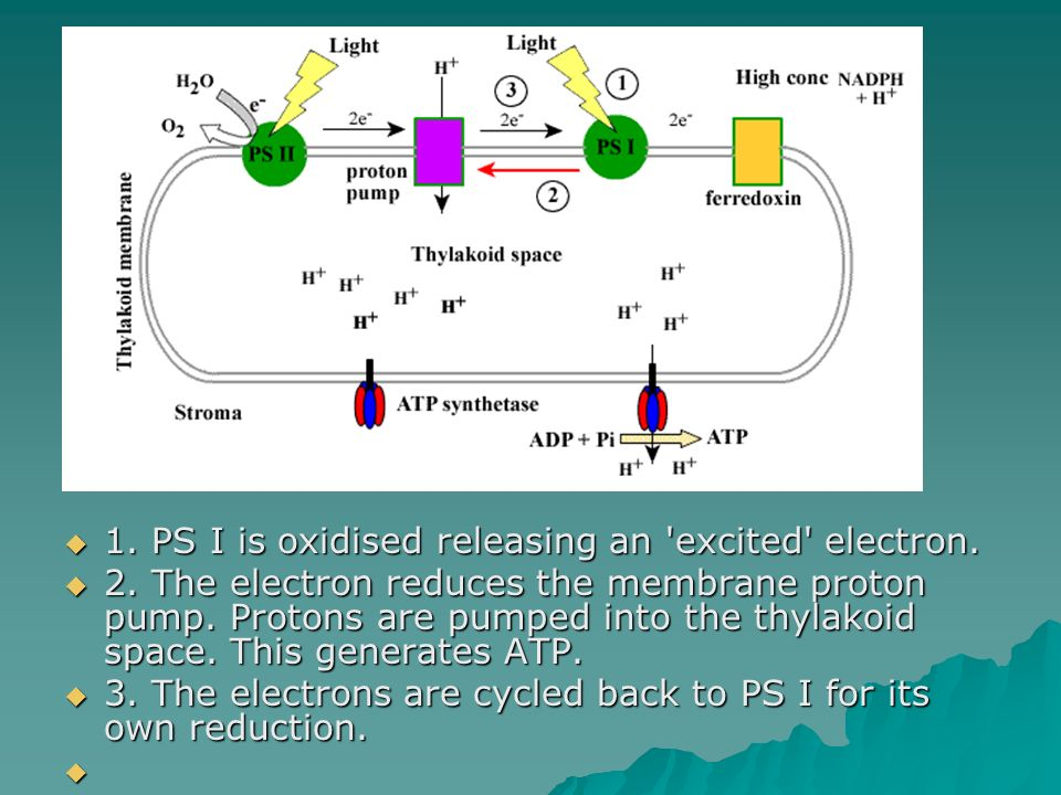 1. PS I is oxidised releasing an excited electron.