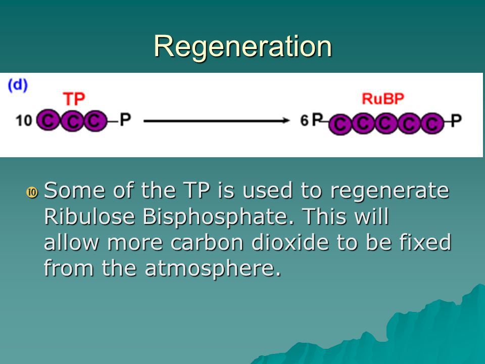 Regeneration Some of the TP is used to regenerate Ribulose Bisphosphate.