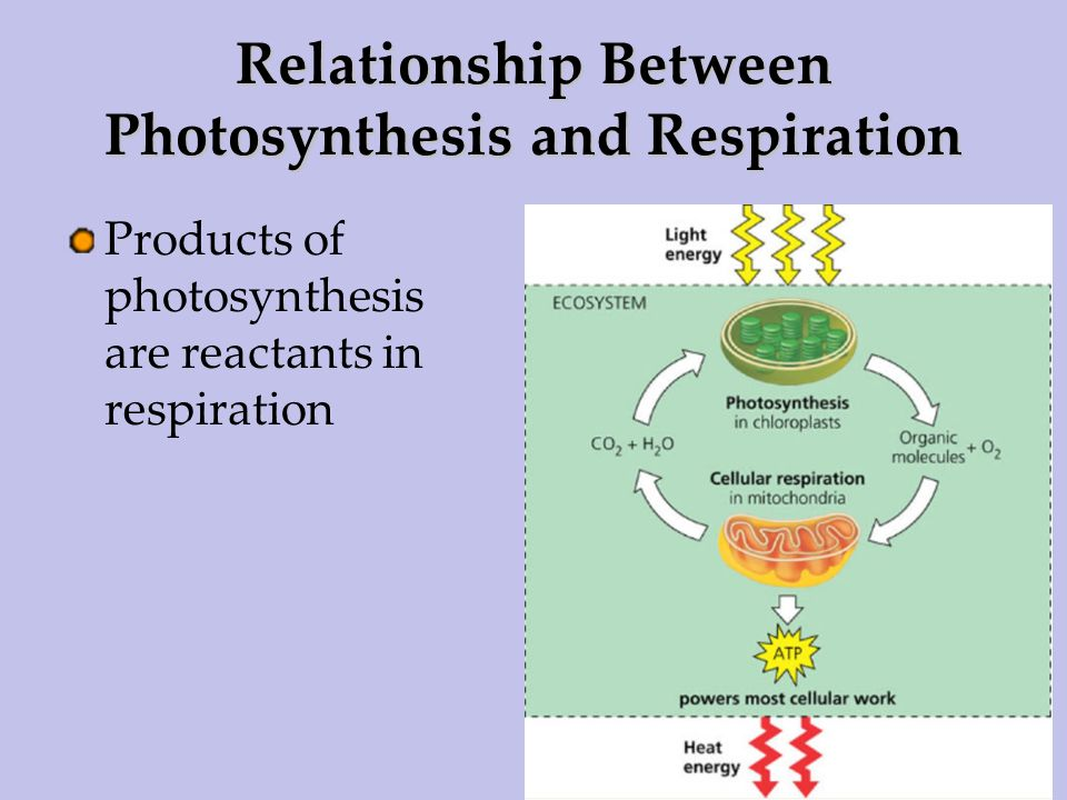 Cellular Respiration bozemanscience