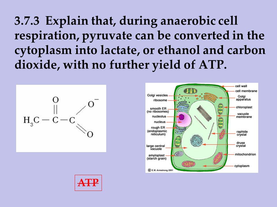 3.7.3 Explain that, during anaerobic cell respiration, pyruvate can be converted in the cytoplasm into lactate, or ethanol and carbon dioxide, with no further yield of ATP.