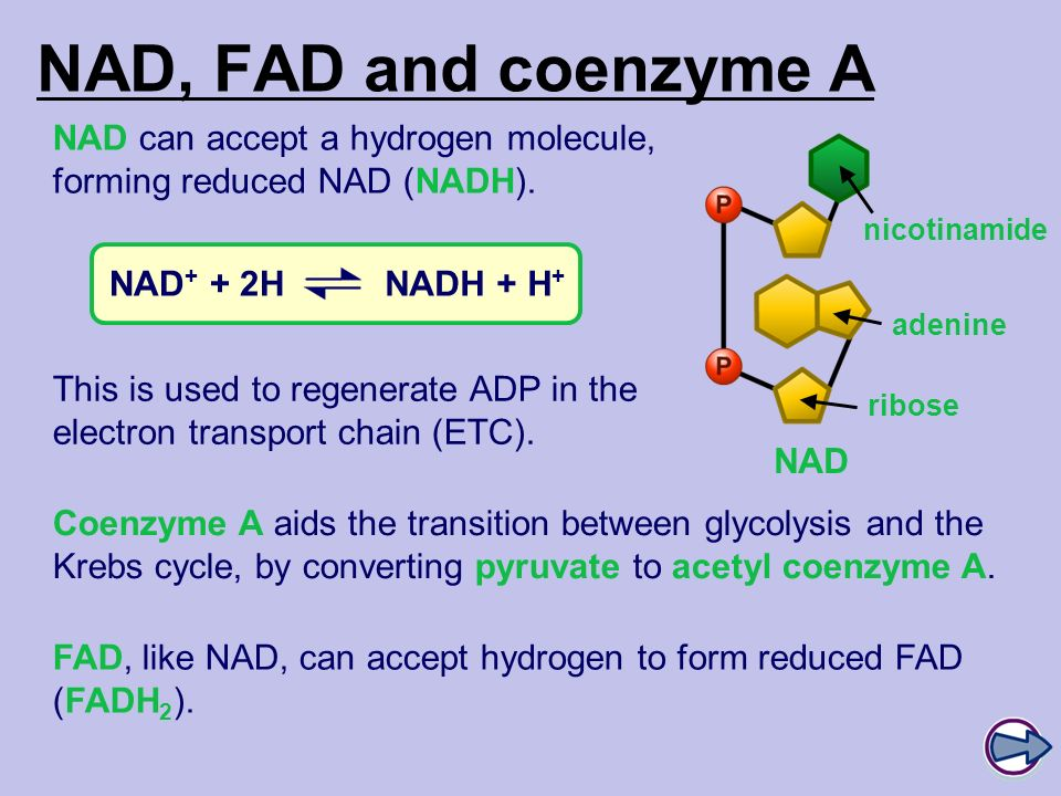 Boardworks A2 Biology Respiration. NAD, FAD and coenzyme A. NAD can accept a hydrogen molecule, forming reduced NAD (NADH).
