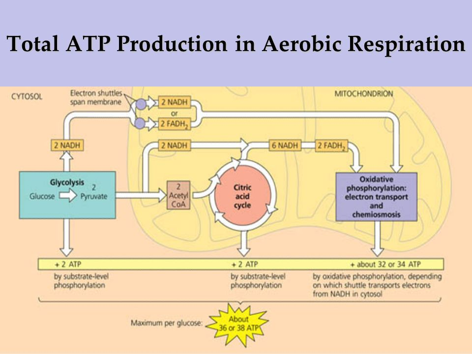 Total ATP Production in Aerobic Respiration
