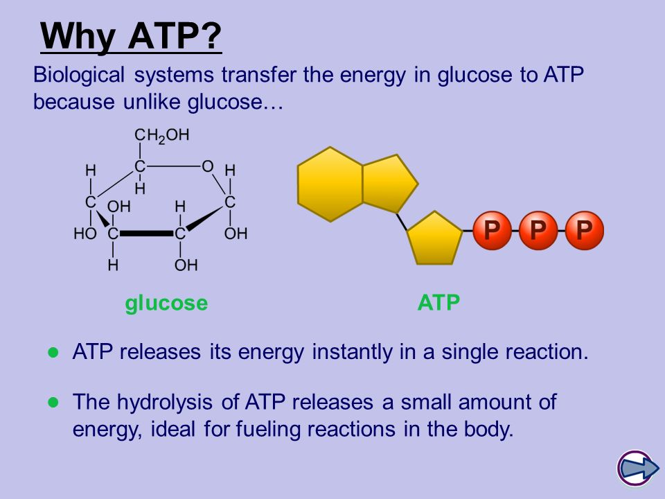 Why ATP Biological systems transfer the energy in glucose to ATP because unlike glucose… glucose.