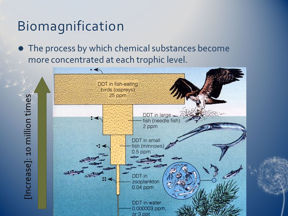 Biomagnification The process by which chemical substances become more concentrated at each trophic level.