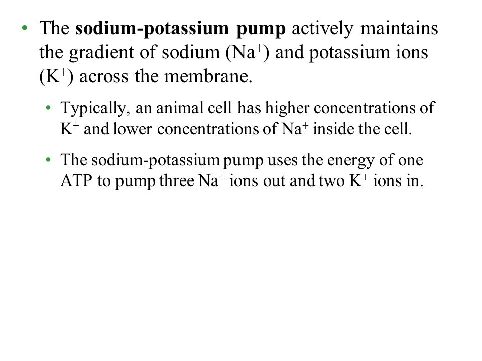 The sodium-potassium pump actively maintains the gradient of sodium (Na+) and potassium ions (K+) across the membrane.
