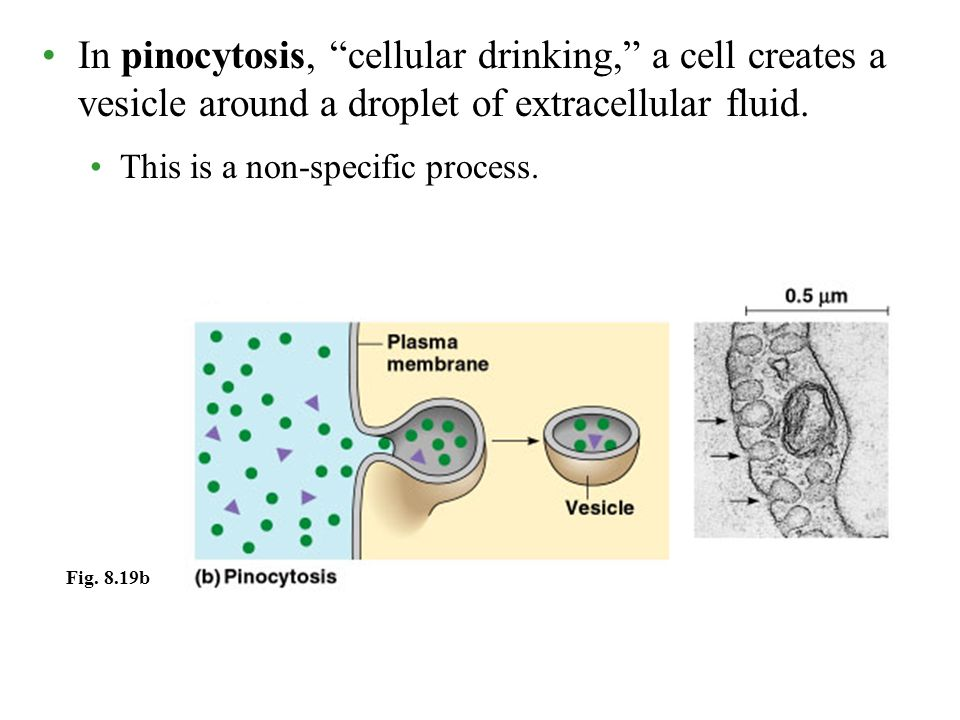 In pinocytosis, cellular drinking, a cell creates a vesicle around a droplet of extracellular fluid.