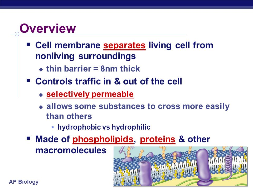 Overview Cell membrane separates living cell from nonliving surroundings. thin barrier = 8nm thick.