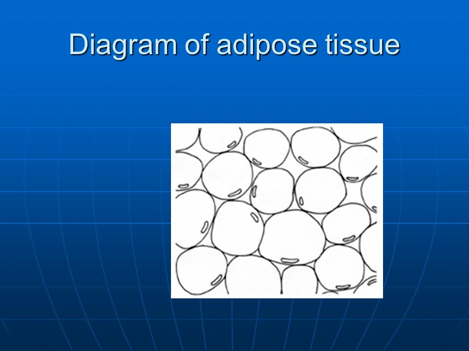 Diagram of adipose tissue