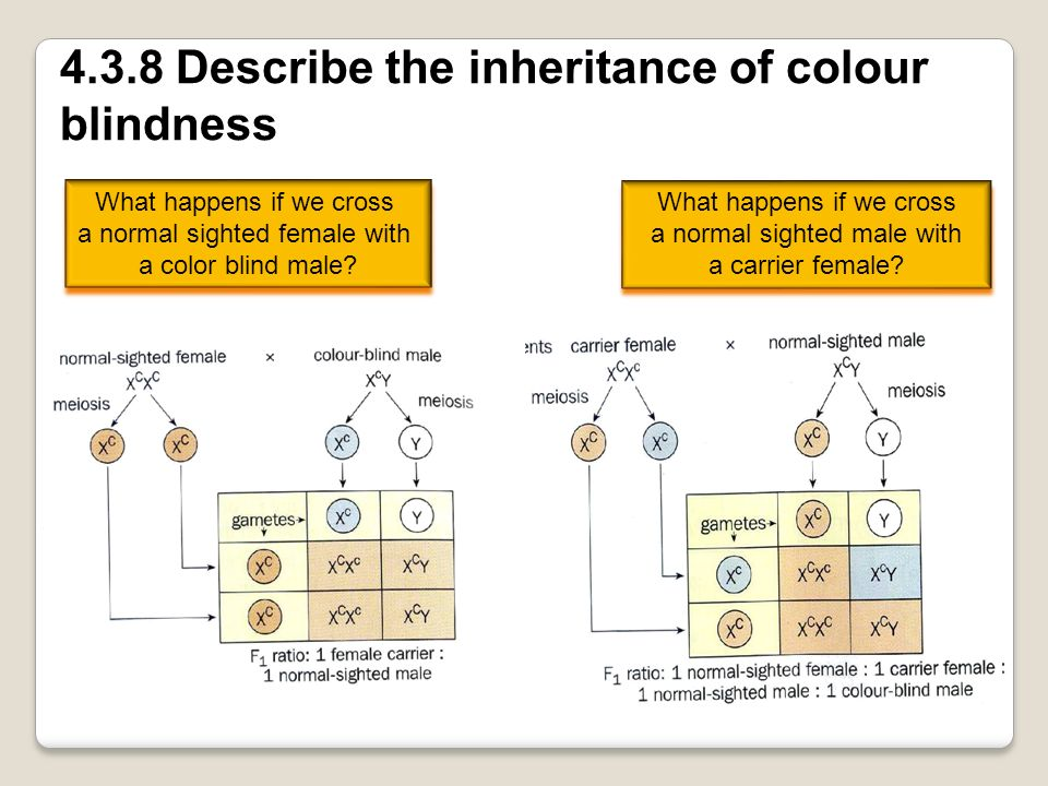 4.3.8 Describe the inheritance of colour blindness