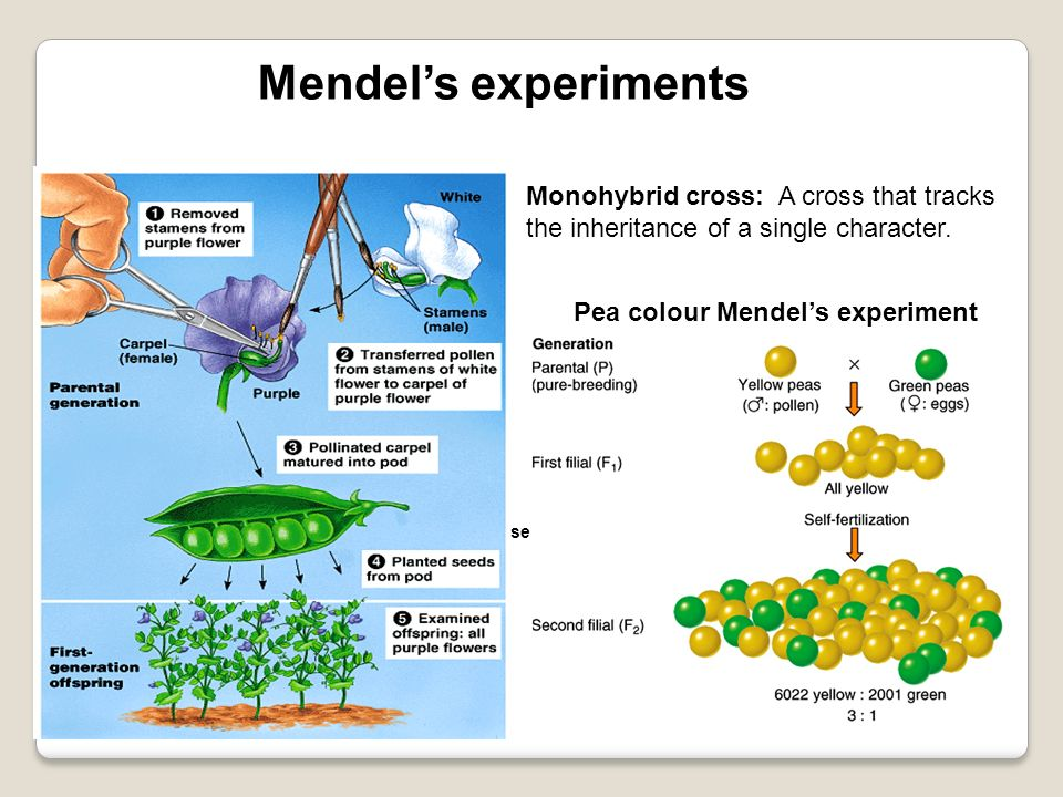 Mendel's experiments Monohybrid cross: A cross that tracks the inheritance of a single character. Pea colour Mendel's experiment.