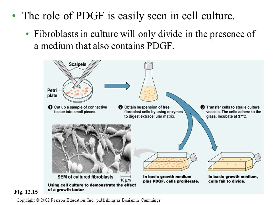 The role of PDGF is easily seen in cell culture.