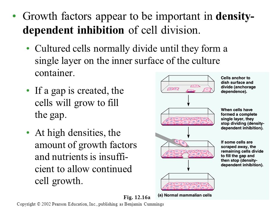 Growth factors appear to be important in density- dependent inhibition of cell division.