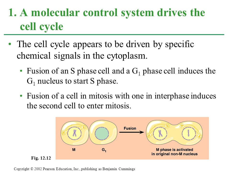 1. A molecular control system drives the cell cycle