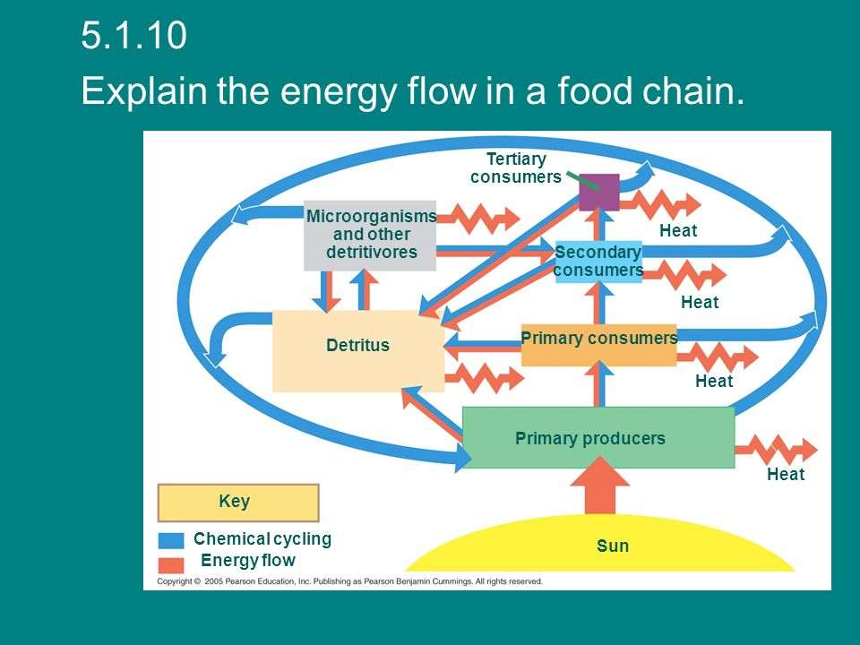 Explain the energy flow in a food chain.