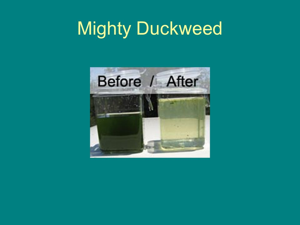 Mighty Duckweed