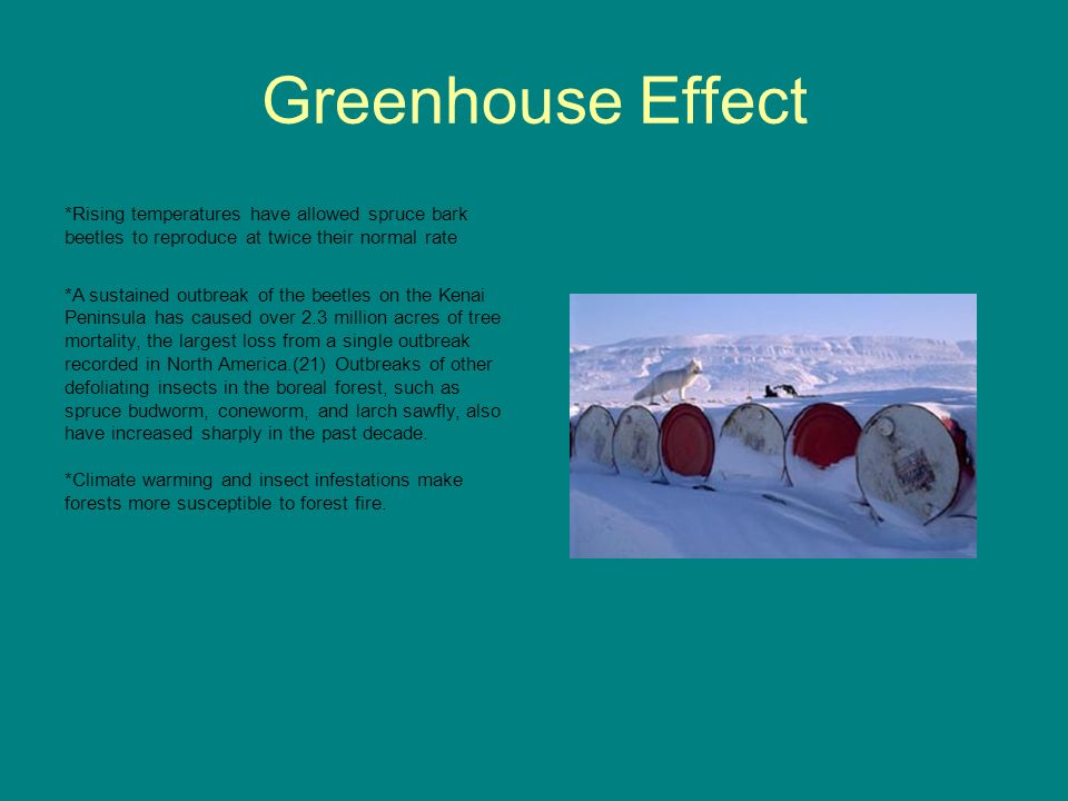 Greenhouse Effect *Rising temperatures have allowed spruce bark beetles to reproduce at twice their normal rate.