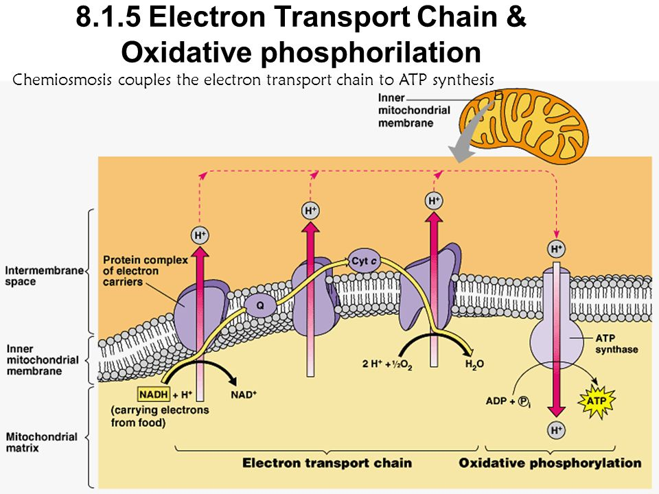 8.1.5 Electron Transport Chain & Oxidative phosphorilation