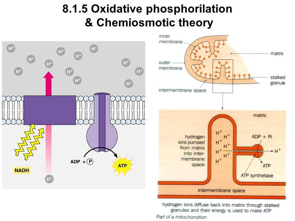 8.1.5 Oxidative phosphorilation