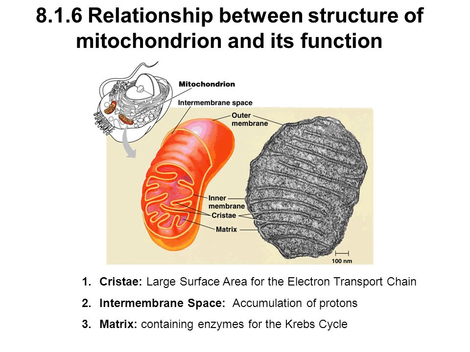 8.1.6 Relationship between structure of mitochondrion and its function