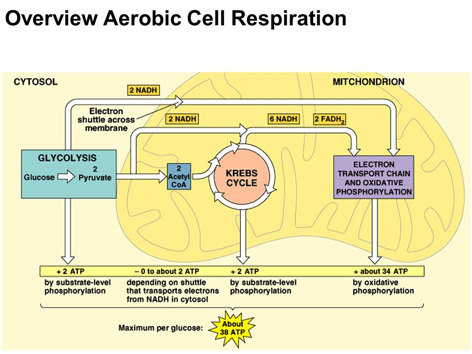 Overview Aerobic Cell Respiration